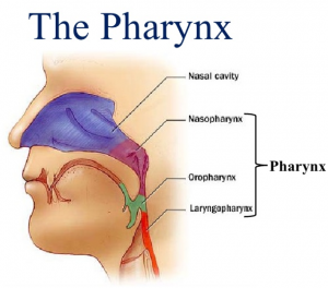 diagram of the pharynx